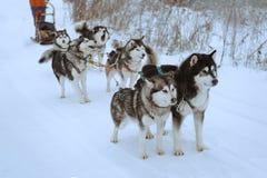 Corsa di cani della slitta Fotografia Stock Libera da Diritti