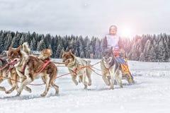 Corsa di cani della slitta su neve nell'inverno Fotografie Stock Libere da Diritti