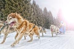 Corsa di cani della slitta su neve nell'inverno Fotografie Stock