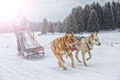 Corsa di cani della slitta su neve nell'inverno Fotografia Stock
