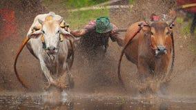 Corsa di Pacu Jawi immagini stock