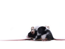 Corsa di ratto Fotografia Stock Libera da Diritti