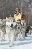 Corsa estrema Beringia della slitta di cane di Kamchatka L'Estremo Oriente russo Immagini Stock