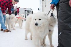 Corsa samoieda di slitta trainata dai cani Immagine Stock Libera da Diritti