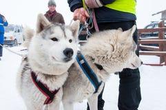 Corsa samoieda di slitta trainata dai cani Fotografie Stock Libere da Diritti