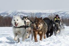 Corsa tradizionale Beringia della slitta di cane di Kamchatka fotografie stock libere da diritti