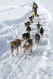 Corsa tradizionale Beringia della slitta di cane di Kamchatka Immagine Stock