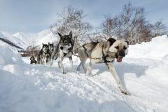 Corsa tradizionale Beringia della slitta di cane di Kamchatka Immagini Stock