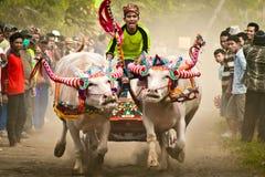 Corsa tradizionale della mucca di Bali Fotografia Stock Libera da Diritti