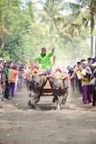Corsa tradizionale della mucca di Bali Immagine Stock Libera da Diritti