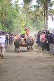 Corsa tradizionale della mucca di Bali Immagini Stock