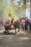 Corsa tradizionale della mucca di Bali Immagini Stock Libere da Diritti