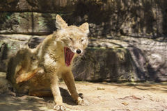 Corsac或干草原Fox拉特 Corsac狐狸-类与美丽的红色毛皮的似犬Fox的一只肉食哺乳动物 免版税库存照片