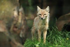 corsac αλεπού Στοκ Φωτογραφία