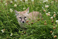 Молодая лисица corsac Стоковое фото RF
