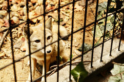 A Corsac in Cage. This is shot in a zoo. A corsac in the cage is looking outside Royalty Free Stock Photography