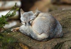 Corsac de Vulpes de renard de Corsac dormant sur le rondin photos stock