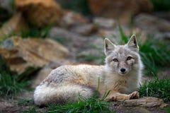 Corsac Fox,狐狸corsac,在自然石头山栖所,在干草原、半沙漠和沙漠发现了在中亚, rangi 图库摄影