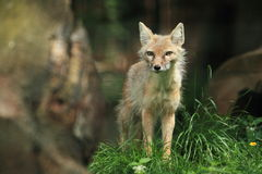 Corsac fox. The corsac fox standing in the grass Stock Photography