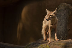 Corsac fox Stock Photo