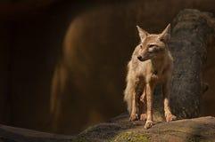 Corsac fox. Portrait of a beautiful corsac fox Stock Photo