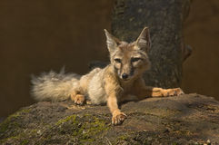 Corsac fox Stock Images