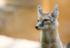 Corsac fox Stock Photos
