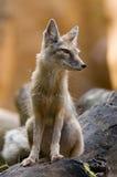 Corsac fox. Portrait of a beautiful corsac fox Stock Images