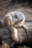 Corsac fox Royalty Free Stock Photo