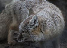 Corsac fox. Close up of head by corsac fox  Foto taken in landgoed hoenderdaell zoo Stock Image
