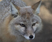Corsac fox Royalty Free Stock Photography