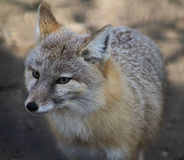 Corsac fox Royalty Free Stock Images