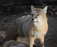 Corsac fox Royalty Free Stock Image