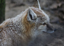 Corsac fox head Stock Photos