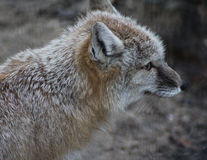 Corsac fox head Royalty Free Stock Photography