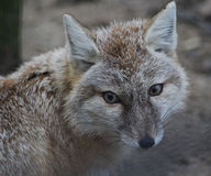 Corsac fox head Royalty Free Stock Images