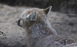 Corsac fox head Stock Photography