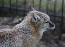 Corsac fox head Royalty Free Stock Photos