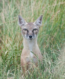 Corsac Fox. A corsac fox in long grass, pictured in captivity Stock Photography