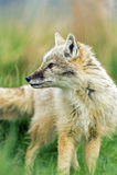 Corsac Fox. In long grass turning to look backward Stock Image