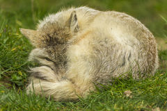 Corsac Fox lying down Stock Image