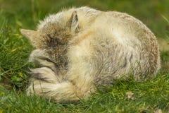 Corsac Fox lying down Stock Image
