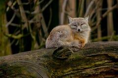 Corsac fox. A corsac fox lying down on a tree trunk. Vulpes corsac Also known as corsac or steppe fox Stock Photos