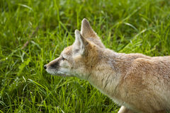Corsac fox is ready to attack. Stock Photo
