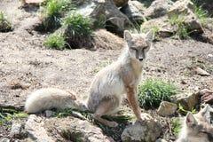 Portrait of Corsac fox. Corsac fox sitting on sunlight Royalty Free Stock Photography