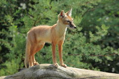 Corsac fox Royalty Free Stock Photos