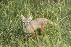 Corsac fox. Standing in the grass Royalty Free Stock Photography