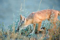 The corsac fox Vulpes corsac. The corsac fox , also known simply as a corsac, is a medium-sized fox found in steppes, semi-deserts and deserts in Central Asia royalty free stock photo