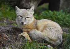 The corsac fox Vulpes corsac Royalty Free Stock Photography