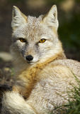 The corsac fox Vulpes corsac Royalty Free Stock Photo